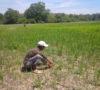 Terancam Gagal Panen, Ratusan Hektar Sawah Diserang Ribuan Hama Ulat