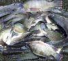 Ikan Nila dan Ayam Ras Hambat Laju Inflasi di Lubuklinggau