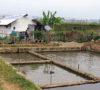 Petambak Kolam Lebih Menjanjikan Ketimbang Petani Padi