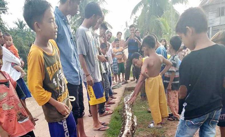 Ular Piton Sepanjang 5 M Ditemukan di Danau Cala