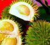 Durian Daun Asli Tumbuh Di Bumi Serasan Sekate