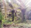 Pemkab Muaraenim Akan Replanting Perkebunan Kelapa Sawit