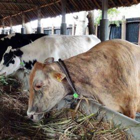 BUMDes Sepakat Pilih Usaha Peternakan Sapi Potong