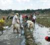 Petani Gotong Royong Buat Siring