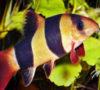Unik, Rangkaian KTNA XIII Di Muba Ada Lomba Pilih Jenis Kelamin Ikan