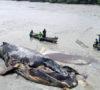 Paus Sepanjang 14 Meter Terdampar di Pantai Bakau Asahan